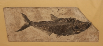 Ray-Finned Fish (Diplomystus dentatus), n.d.