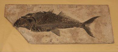 Ray-Finned Fish (Diplomystus dentatus), n.d.