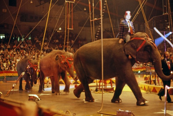 Circus elephants at Hadi Shrine Circus at Roberts Stadium, in the 1970s. Source: Schlamp-Meyer Collection, MSS 157-2050, University Archives and Special Collections, USI