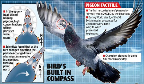 How a Homing Pigeon finds home. Source:https://tinyurl.com/rbpdrwf
